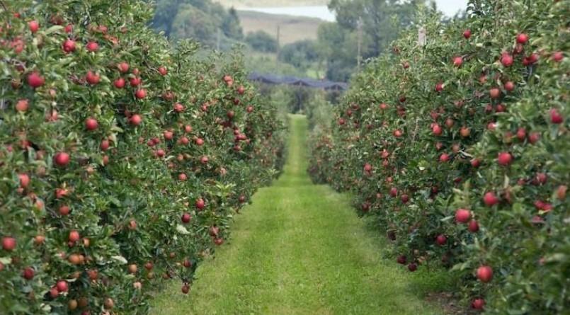 яблоки IMETOS